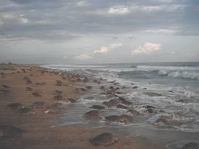 Tortuga marina en Oaxaca